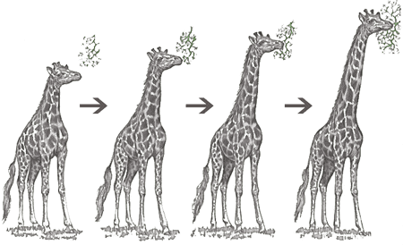 Giraffe height
